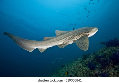 Full length shot of a large and impressive Leopard shark (Stegostoma fasciatum) swimming to the surface of a coral reef near the Daymaniat Islands in Oman against a sunlit sea surface background.