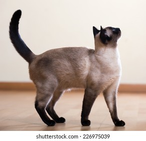 full length shot of Standing young adult siamese cat