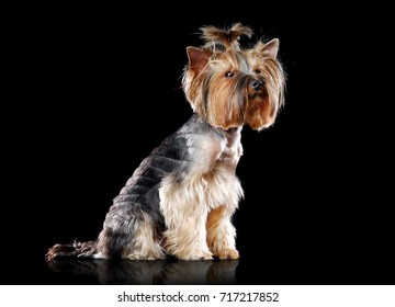 Full length side view picture of a sitting Yorkshire Terrier  isolated on black studio background