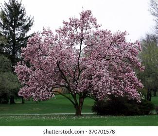 Magnolia Tree Images Stock Photos Vectors Shutterstock