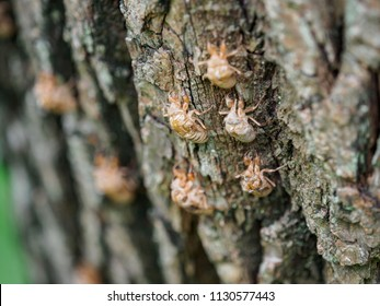 The full molting of cicada. Cicada slough on the tree, after slough off the cicada's shell.