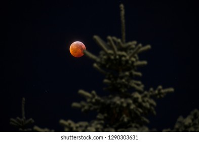 Full moon eclipse behind snowy spruce tree in winter night