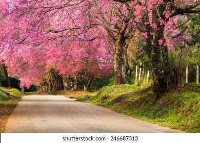 Full pink cherry blossom on spring in the morning at north of Thailand, Place name Khun Wang located at Chiang Mai province.