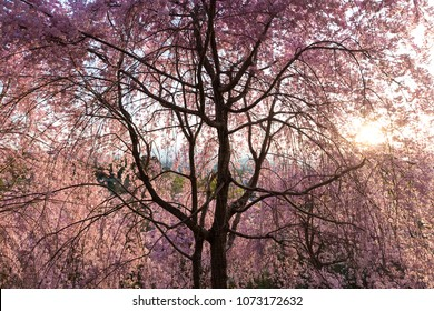 Full pink cherry tree blossom at sunset in a park near Kyoto, Japan