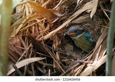 Full plumage of young hooded pitta bird standing in the nest and ready to leave.Fledgling bird in the mound nest.