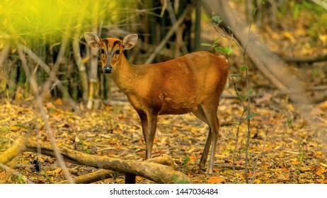 full portrait of female Sambhar deer (Rusa unicolor) in Tadoba Tiger Reserve