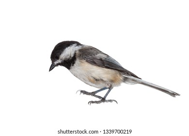 A full profile of a black-capped chickadee immediately before it lands. Talons outstretched, eyes looking down, white background.