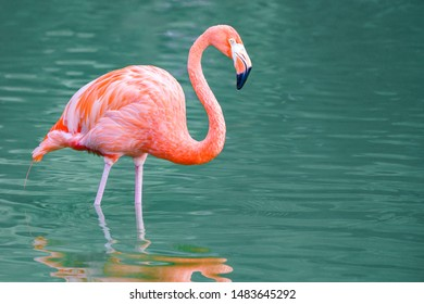 """Full profile of pink flamingo at eye level standing in water with classic """"S"""" shaped neck and reflection"""