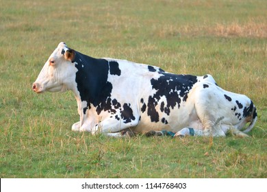 Full profile view of an old Holstein dairy cow with sagging and wrinkled skin resting in the pasture.