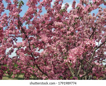 Full screen of blossoming bright pink malus floribunda (crabapple) flower full of the trees under blue sky with clouds in spring in China