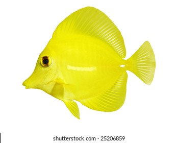 full side macro of yellow tang 'zebrasoma flavescens' isolated