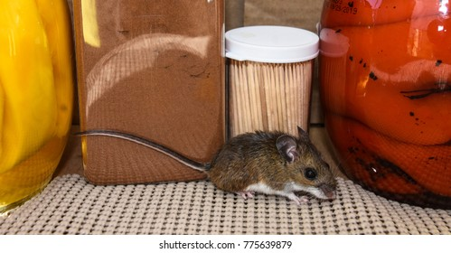 Full side view of a small brown house mouse in a kitchen cabinet with food in the background.