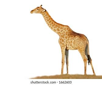 Full size giraffe (Giraffa camelopardalis)  isolated on a white background