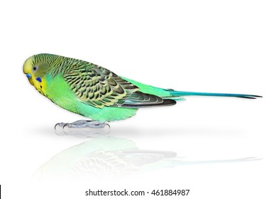 Full size green Budgerigar isolated on the white