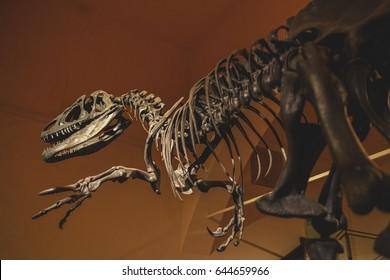 Full size skeleton of the Allosaurus dinosaur.