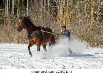 Full speed through the snow. A man stands on skis and lets himself be dragged by his horse through the winter landscape. Skijoring is a winter sport, which has its roots in Scandinavia.