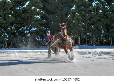 Full speed through the snow. A man on skis is pulled by his through the snow at full gallop  Skijoring is a winter sport, which has its roots in Scandinavia.