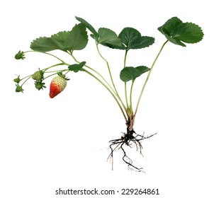 full strawberry plant isolated on white background