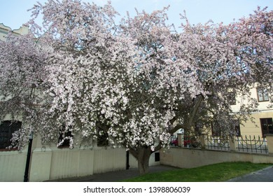 The full tree blossom by historic Synagogue in Zamosc old town (Poland).