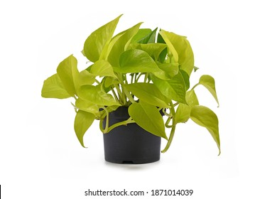 Full tropical 'Epipremnum Aureum Lemon Lime' houseplant with neon green leaves in flower pot isolated on white background