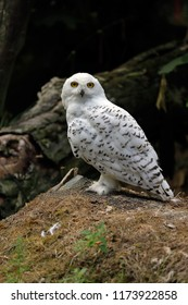 Full view of adult male arctic snowy owl. Photography of nature and wildlife.