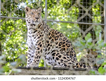 Full view of Amur Leopard behind leaves and looking into the distance.