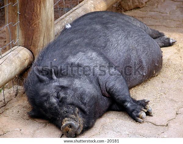 Full view of a black pig sleeping
