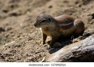 Full view of black-tailed prairie dog at a burrow entrance. Photography of nature and wildlife.