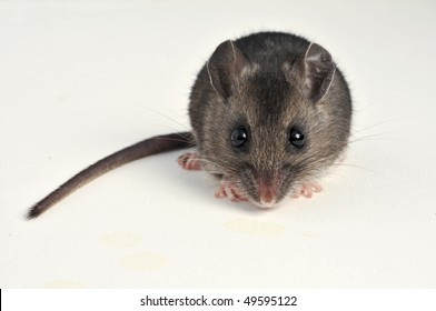 full view of deer mouse on white background