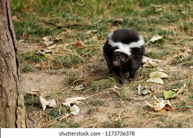 Full view of mephitidae is a family of mammals comprising the skunks and stink badgers. Photography of nature and wildlife.