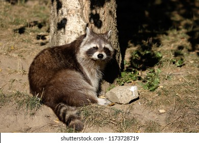 Full view of sunbathing relaxing sitting lotor common raccoon (procyon lotor). Photography of nature and wildlife.
