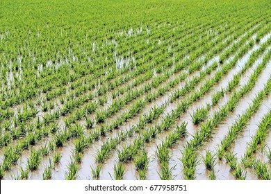 Full of water in green rice field at the beginning of crop season
