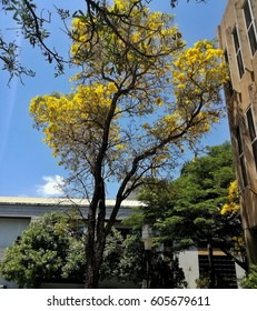 full of yellow flower on the big tree is behind the building in the campus Thailand