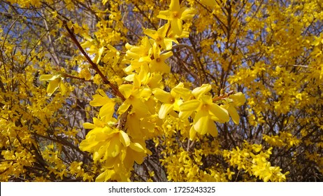 Full-blossom Branches of Border Forsythia on a  blue sky background