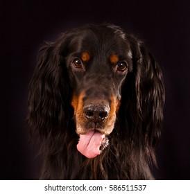 full-face portrait of a dog breed Gordon Setter on black background