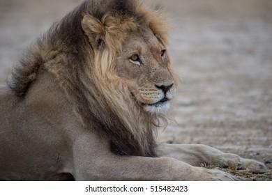 Full-grown male Kalahari Lion with black mane in the Kalahari Desert, Kgalagadi Transfrontier Park, South Africa