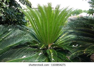 Full-grown tree Cycas revoluta also called sago palm, king sago, sago cycad, Japanese sago palm