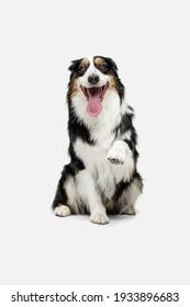 Full-length portrait of Australian Shepherd dog isolated over white background.
