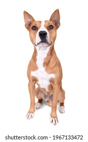 Full-length red American Staffordshire terrier isolated on a white background. Red American Pit Bull Terrier. Mixed breed. Masculine dog. Brown and white dog is sitting