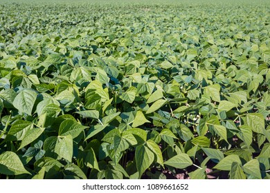 Full-screen field with green beans plants on a sunny day in the summer season.