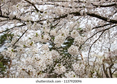 Fully bloomed cherry blossoms at Samurai District of Kakunodate,Akita,Tohoku,Japan in spring.