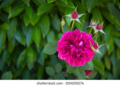 Fully Bloomed English Rose in Garden