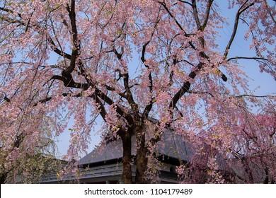 Fully bloomed weeping cherry blossoms(shidarezakura) at Samurai District of Kakunodate,Akita,Tohoku,Japan in spring.