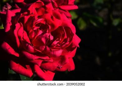 Fully blossoming red tea rose hybrid Karl Herbst, Kordes 1950 in summer afternoon sunshine, dark background. - Shutterstock ID 2039052002