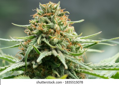 Fully Mature Medical Cannabis Plant