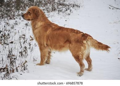 Fully Mature Red Golden Retriever Female Dog in Snow
