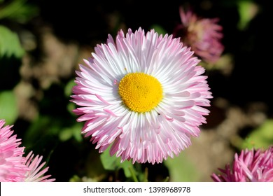 Fully open blooming Common daisy or Bellis perennis or English daisy or Meadow daisy or Lawn daisy herbaceous perennial plant with large white and pink pompon like flower with yellow center