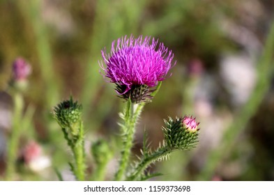 Fully open blooming flower of Greater burdock or Arctium lappa or Edible burdock or Lappa or Gobo or Beggars buttons or Thorny burr or Happy major biennial plant next to two flower buds starting to op
