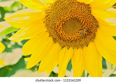 A fully open sunflower. In field of sunflowers on a sunny day.