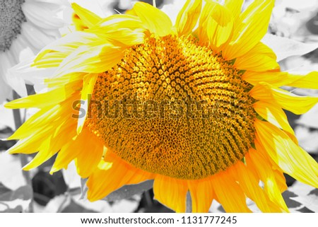 A fully open sunflower. In field of sunflowers on a sunny day. Black - yellow photo effect